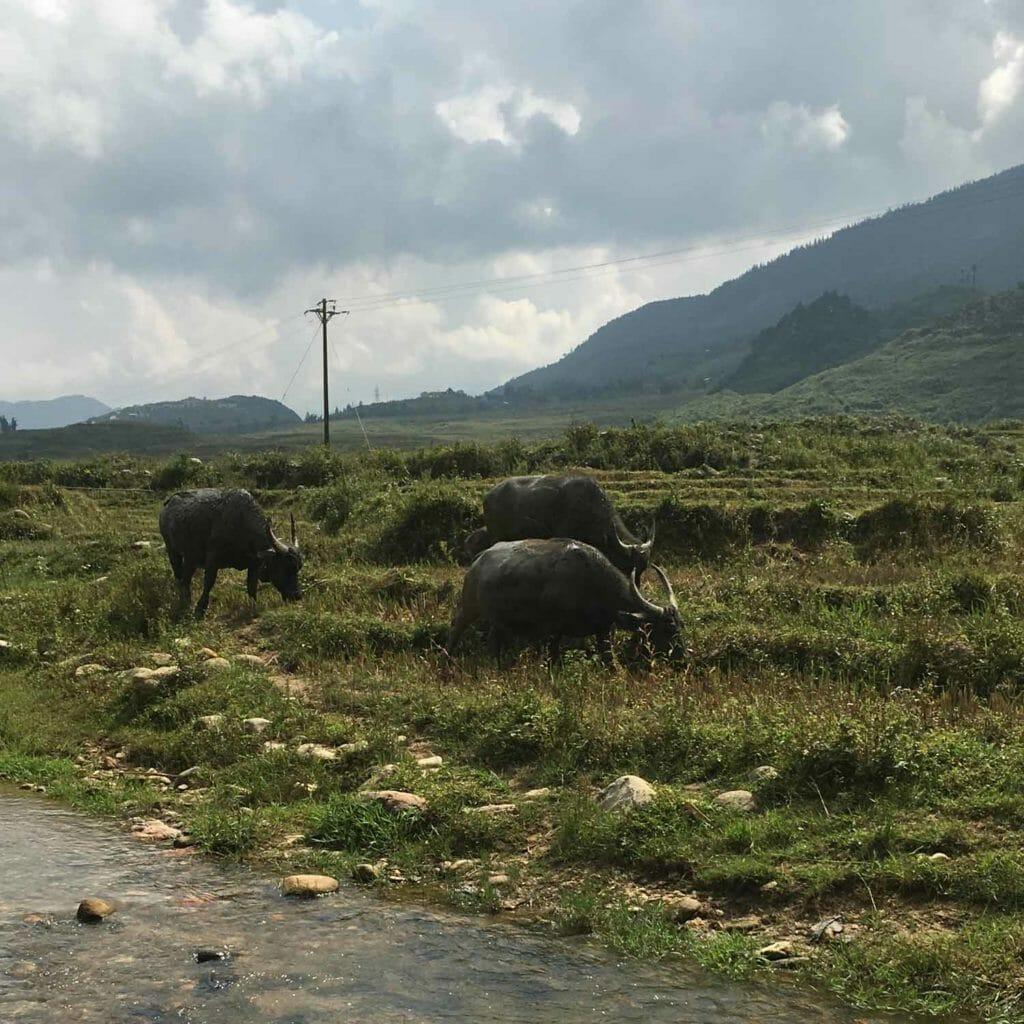 Buffels in het veld