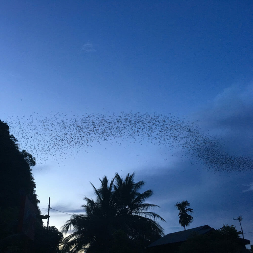 battambang-bats