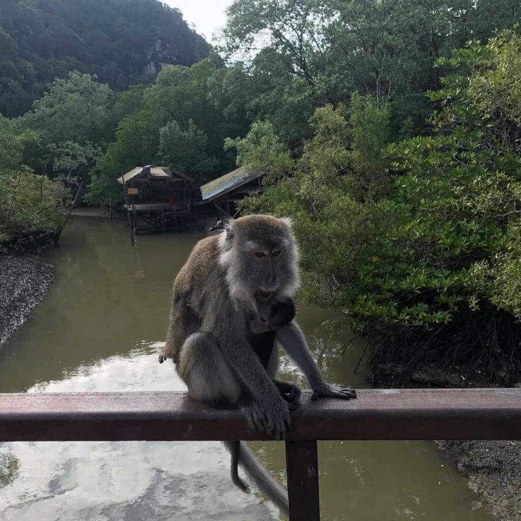 Kuching-Bako-Baby-Monkey