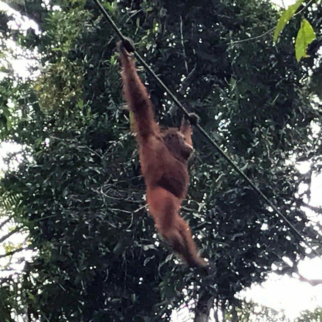 Kuching-Orangutan-02