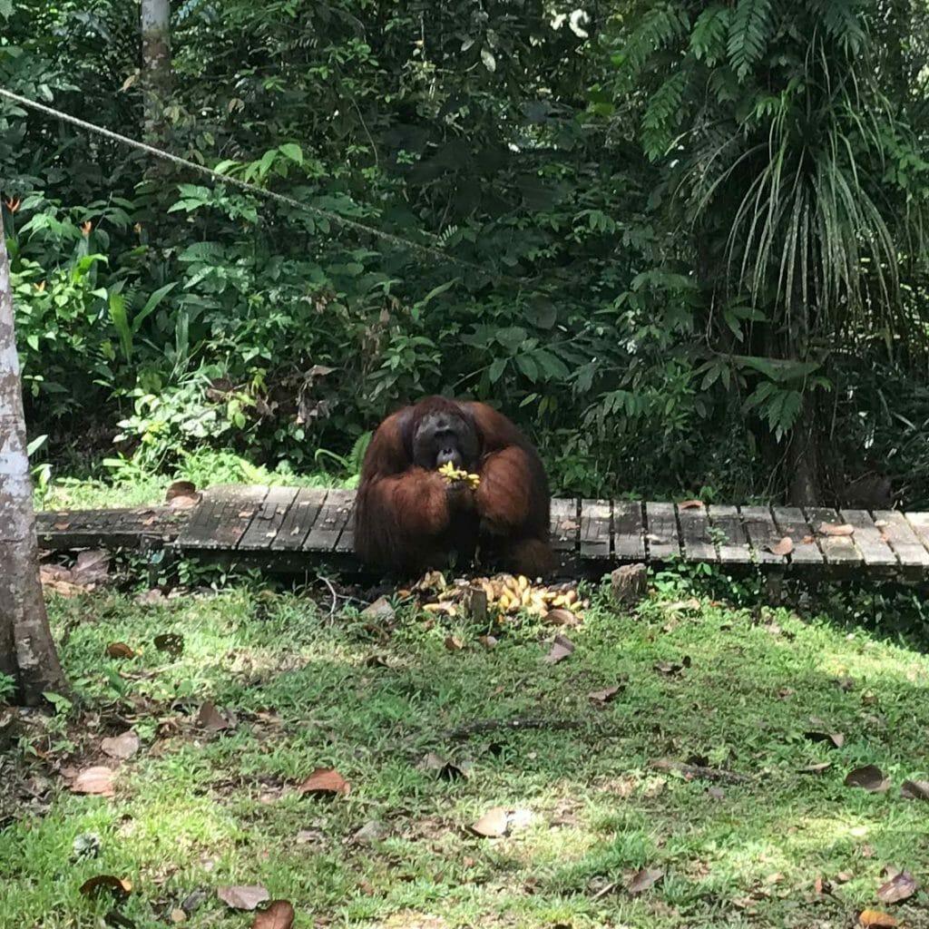 Kuching-Orangutan Ricky