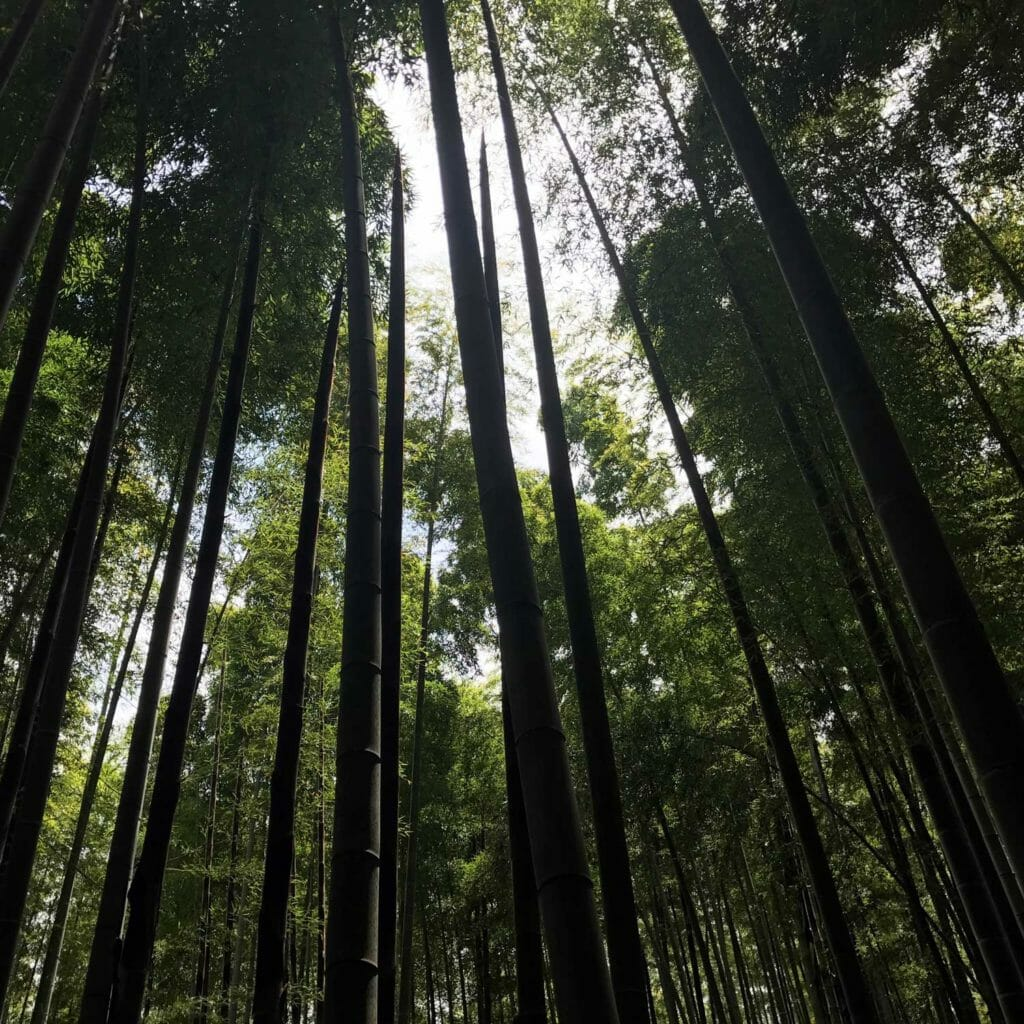Japan Kyoto Bamboo Forrest 03