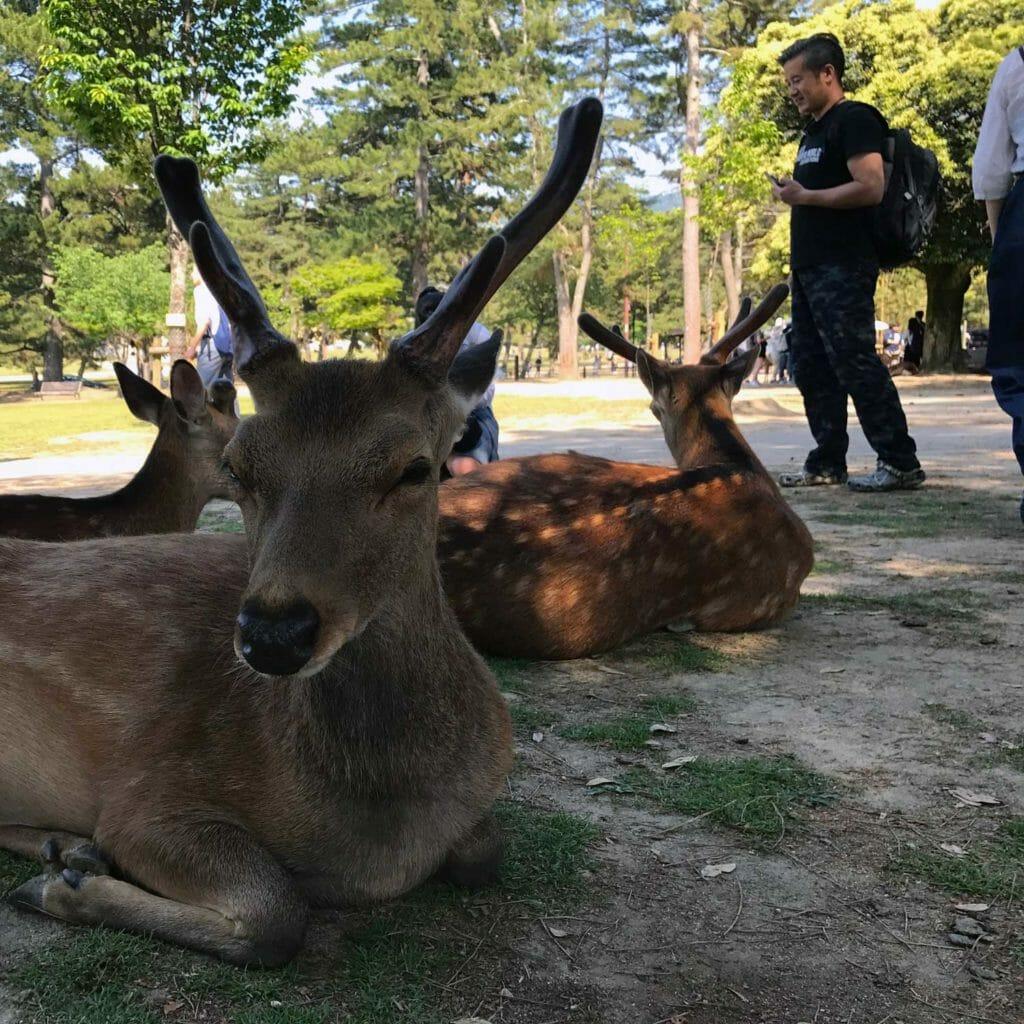 Japan Nara Herten 02